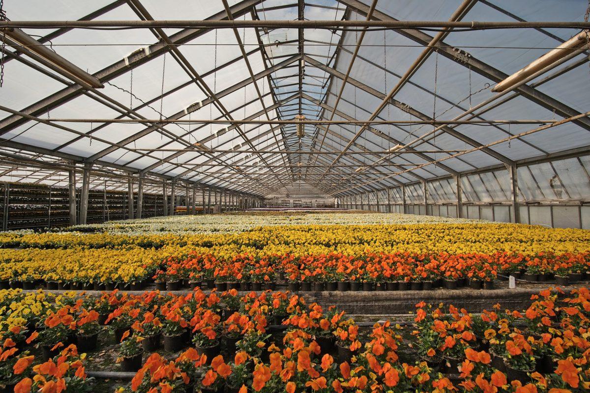 Greenhouse growing flowers