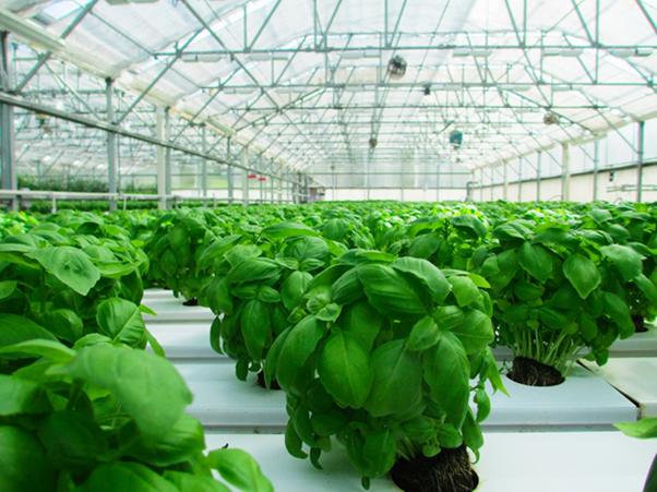 Basil growing in greenhouse